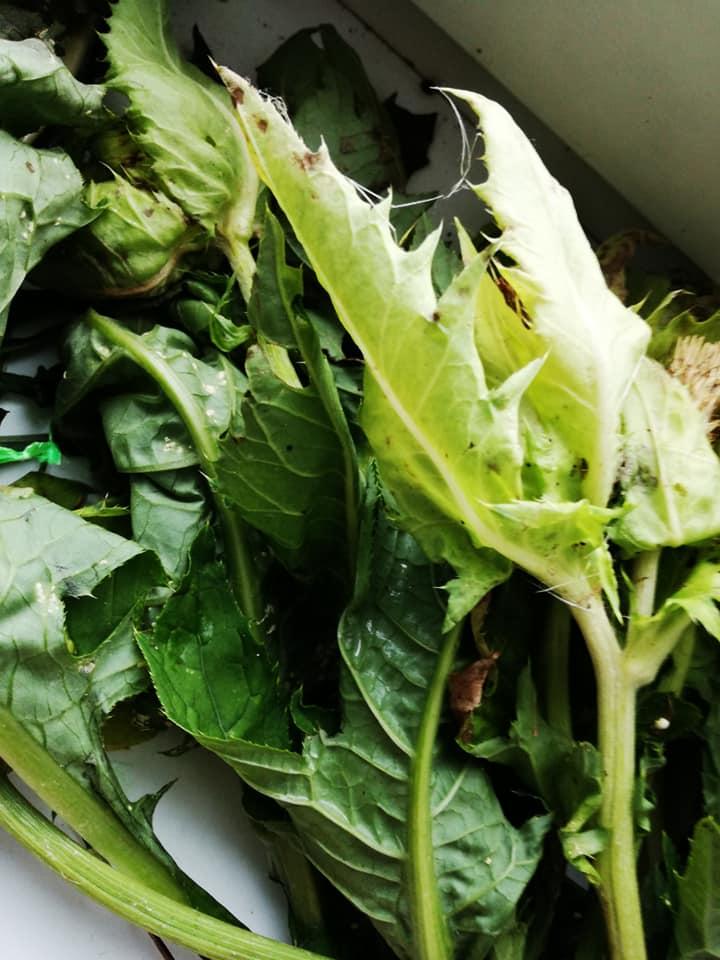 ostrożeń warzywny