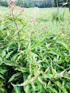 sadziec konopiasty
